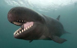 17afe-false-killer-whale
